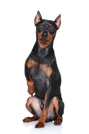 miniature breed: Pinscher miniatura se sienta apretado pata en un fondo blanco