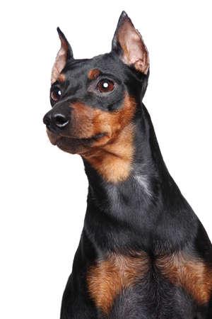 miniature breed: Miniature Pincher zwerg pinscher Close-up retrato aislado en un fondo blanco