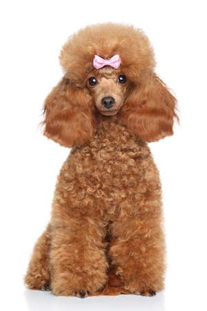 Red perrito del caniche de juguete se sienta en un fondo blanco