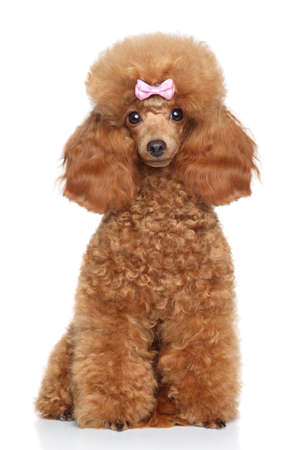 Red Toy Poodle puppy sits on a white background Фото со стока