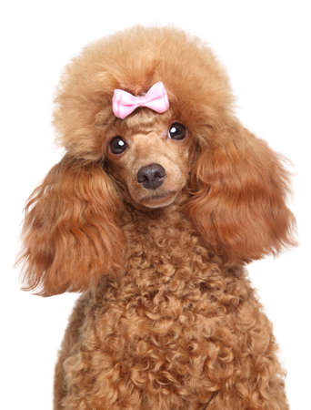 Toy poodle puppy portrait on a white background