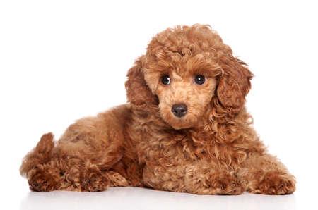 miniature breed: Red perrito poodle toy (2 meses) se extiende sobre un fondo blanco