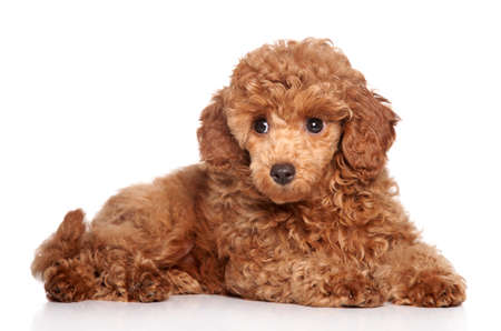 miniature poodle: Red toy poodle puppy (2 month) lying on a white background