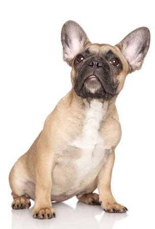 francais: French Bulldog puppy,  3 month , sitting on a white background  Stock Photo