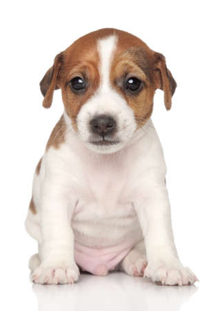 jack russel: Jack Russel puppy in front on a white background Stock Photo