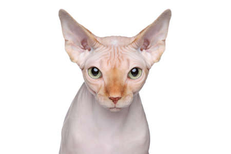 bare skinned: Sphynx hairless cat  Close-up portrait on a white background