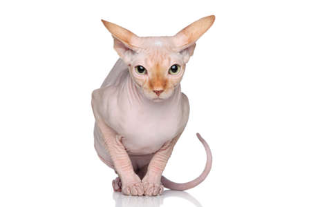 don: Sphynx hairless cat sits on a white background