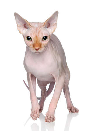 bare skinned: Sphynx hairless cat on white background with reflection