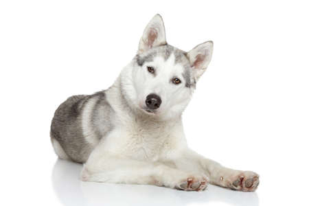 Siberian Husky resting on white background photo