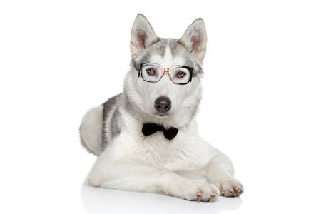 Siberian Husky dog posing in bow tie and glasses on a white background photo