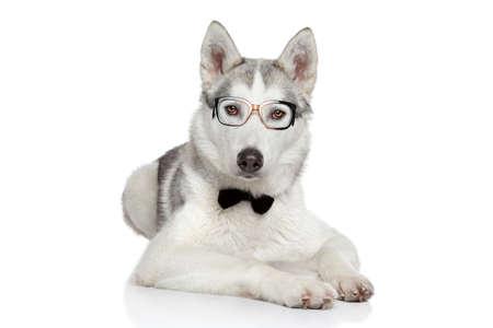 Siberian Husky Hund posiert in Fliege und Gläser auf einem weißen Hintergrund