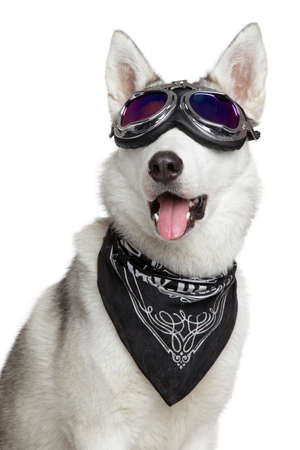 Siberian Husky dog shawl and motorcycle glasses on a white background photo