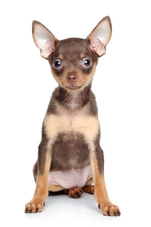 toy terrier: Russian toy terrier puppy on a white background Stock Photo