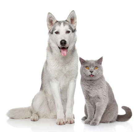 wolf couple: Cat and dog together posing on a white background Stock Photo