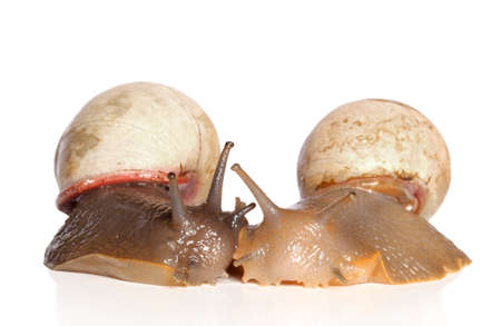 hermaphrodite: Giant Snails kiss on a white background