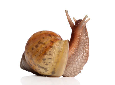 hermaphrodite: Giant African land snail Achatina on a white background Stock Photo
