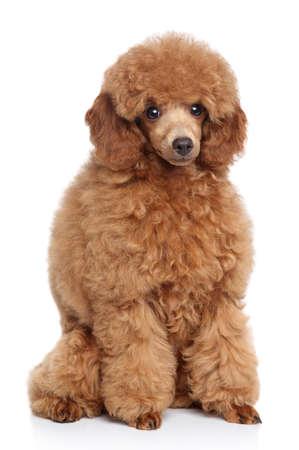 miniature breed: Little red toy poodle se sienta en un fondo blanco