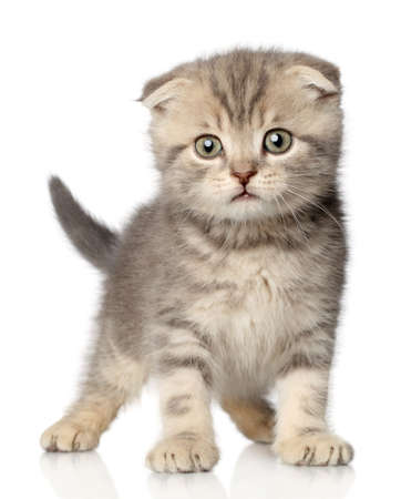 Scottish Fold kitten posing on a white background photo