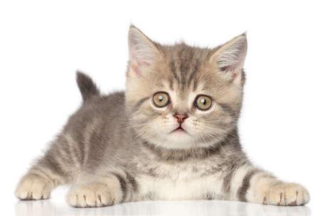 scottish straight: Scottish straight kitten on a white background with reflection Stock Photo