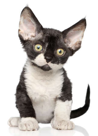 devon: Devon Rex kitten on a white background