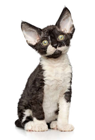 devon: Funny Devon-rex kitten sits on white background Stock Photo