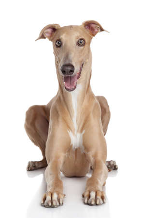 Greyhound dog lying on a white background photo