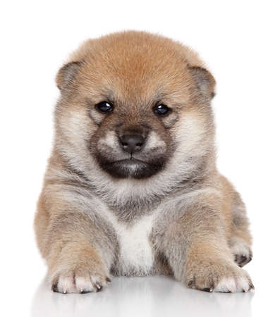 bred: Japanese Shiba Inu puppy  month  portrait on white background