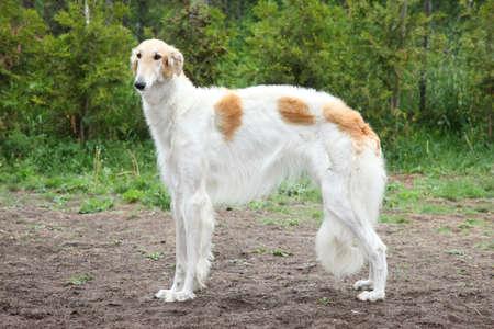 hunter playful: Russian borzoi dog standing  Outdoor shoot