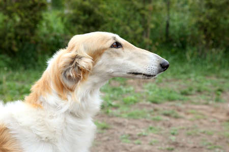 Russian borzoi, greyhound dog portrait  Outdoor shoot photo