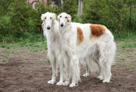 hounds: Pair of borzoi hounds posing on the background of nature