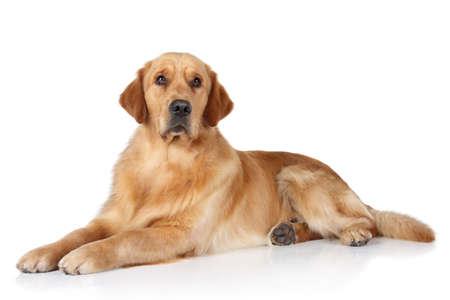 Golden Retriever dog lying on the white floor Stock Photo
