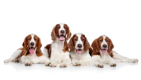 studioshoot: Springer Spaniels dogs posing on a white background