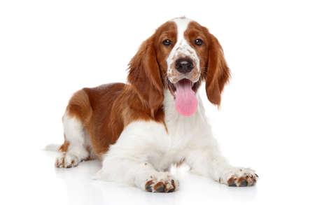 springer: Springer Spaniel puppy lying. Portrait on a white background Stock Photo