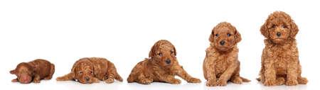 miniature breed: Caniche miniatura. Cachorro en crecimiento (2 días, 2 semanas, 3 semanas, 4 semanas, 6 semanas) sobre un fondo blanco Foto de archivo