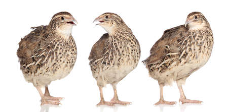 phasianidae: Tree young quail posing on a white background