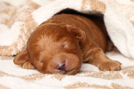 counterpane: Poodle puppy  one week  warped in blanket  Closeup portrait series Stock Photo