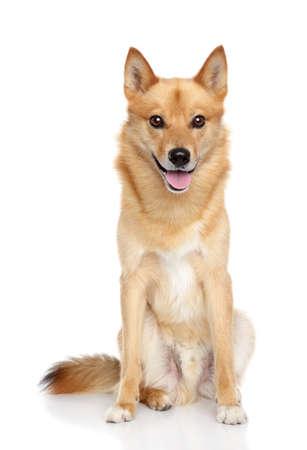 finland�s: Finnish Spitz perro Carelia finlandesa laika sobre un fondo blanco Foto de archivo