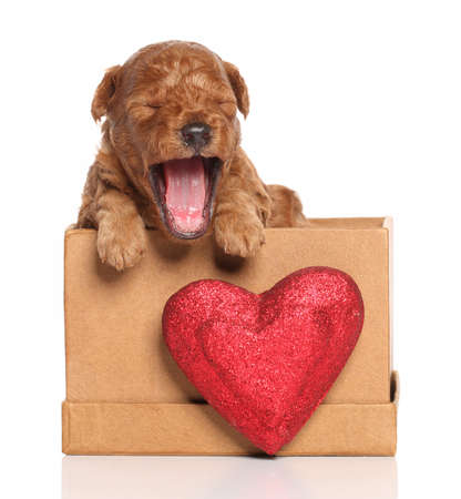 Red Poodle pup (second week) yawns in a box with a red heart on a white background Stock Photo