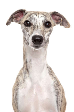Portrait of Whippet dog on a white background
