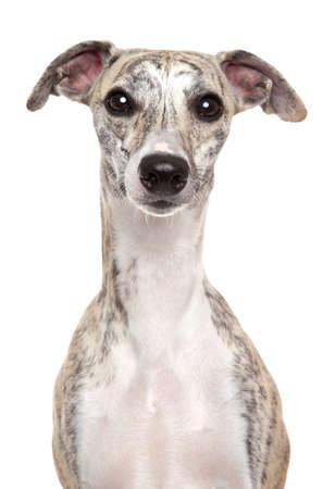 Ritratto di cane whippet su sfondo bianco
