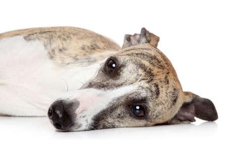 Whippet dog lying on a white background  Studio shoot photo