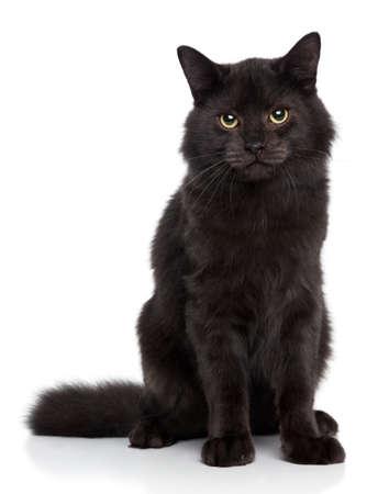 gato negro: Negro gato siberiano en un fondo blanco Estudio de disparar