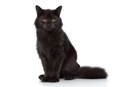 Black Siberian cat sits on a white background. Studio shoot Stock Photo