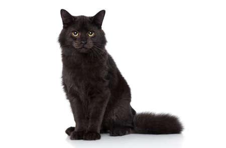 Negro Gato siberiano sienta sobre un fondo blanco. Lanzamiento del estudio Foto de archivo - 23734738