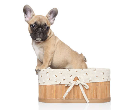 francais: Young French bulldog puppy in basket  Closeup portrait on a white background