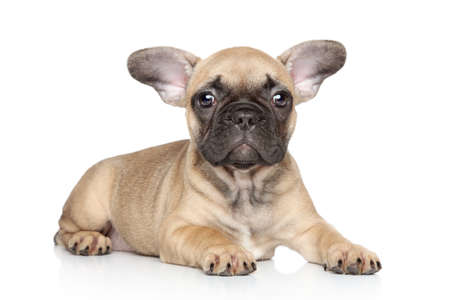 francais: French bulldog puppy lies on a white background Stock Photo