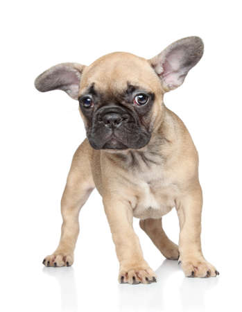francais: Beautiful French bulldog puppy on white background