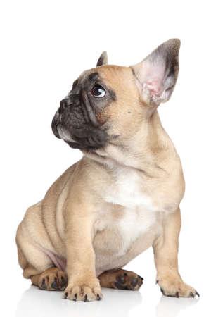 whelp: French bulldog puppy sitting on a white background  Stock Photo
