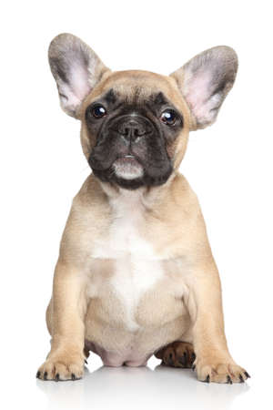 francais: Beautiful French bulldog puppy  Portrait on a white background Stock Photo