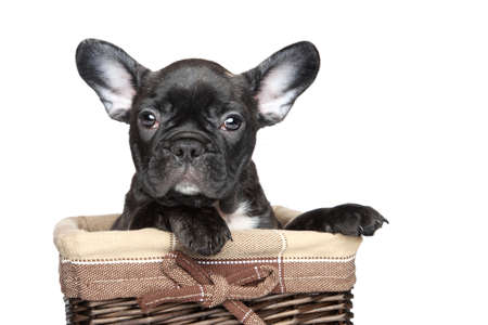 francais: Black French bulldog puppy sits in basket on a white background Stock Photo